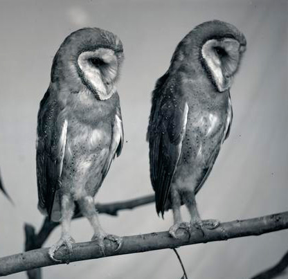 Young barn owls on a willow bough, 1904. OrgLot369_FinleyA0578