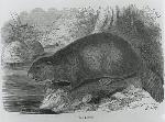 The Beaver, from The Trappers Guide. OHS Research Library, OrHi 102614