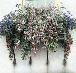 Window Box [fuschia]; Mr. and Mrs. C.E. Grelle, no. 3442, Portland Garden Club Collection