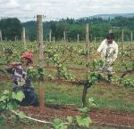 Migrant Workers. Courtesy Oregon Wine Press