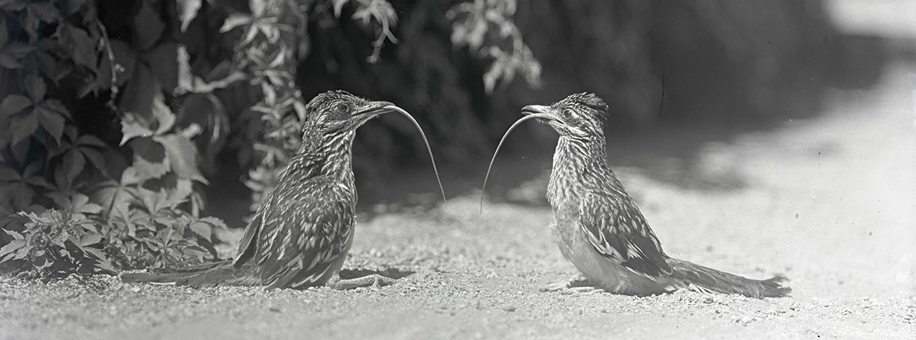 Two young road-runners sitting upright after swallowing lizards, the tails of which are still hanging from their mouths. Arizona, 1910. William L. Finley Photographs Collection, OrgLot369_FinleyA0156