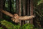 Michael Nichols. Northern Spotted Owl, California, 2009