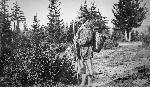Mrs. Frank Galler collecting huckleberries, Oregon Historical Society Research Library, bb014523