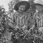Women's Land Army workers harvesting hops in the Willamette Valley, 1944 Oreg. State Univ. Archives, Harriet's Coll., HC0972