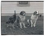 Turkey and two dogs, one carrying hatchet. Oregon Journal Negative Collection, Org. Lot 1368 0371N3353