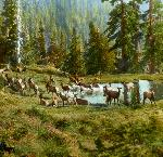 Herd of Elk, hand colored lantern slide. Oregon Historical Society Research Library, Frank Branch Riley Collection, Org. Lot 7, Box 4, No. 21.